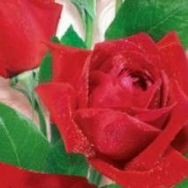 Розовое торжество